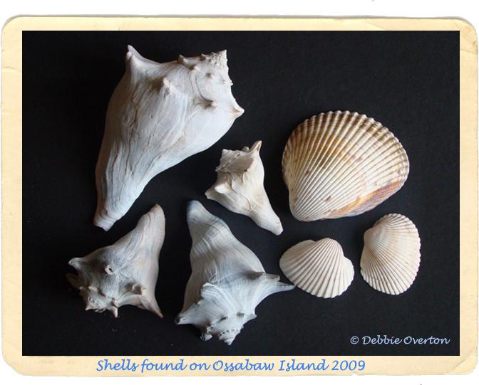 Ossabaw Island Shells