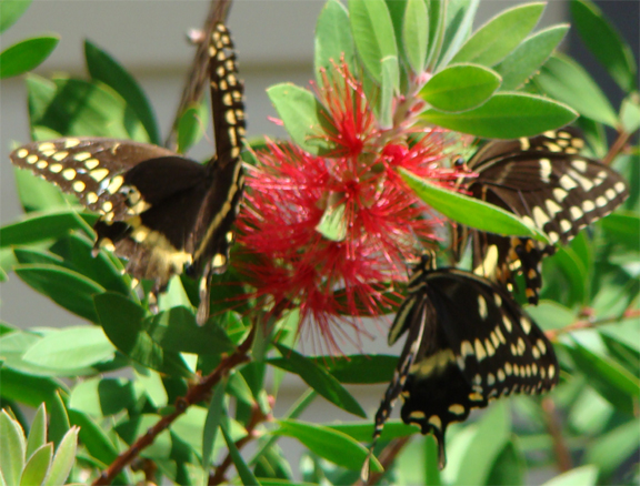 Bottlebrush_butterflies